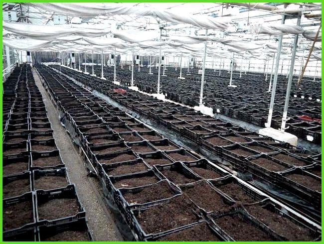 Выращивание в теплице лилии 60