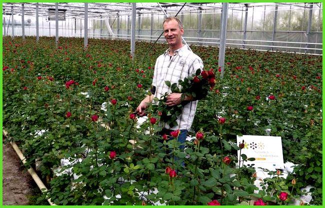 Правильно рсчитать посадку роз теплицу
