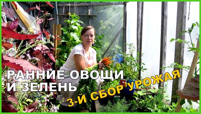 Выращивание морковки в теплице 65