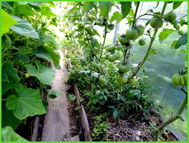 Выращивание в теплице помидоров с огурцами на