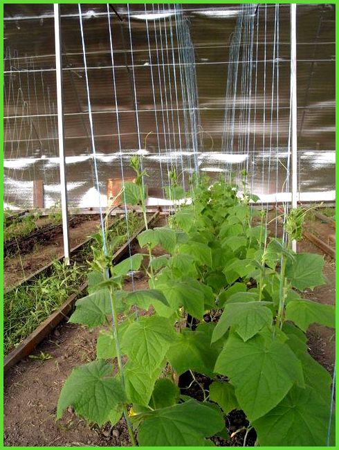 Выращивание огурцов в теплице зимой из поликарбоната 39