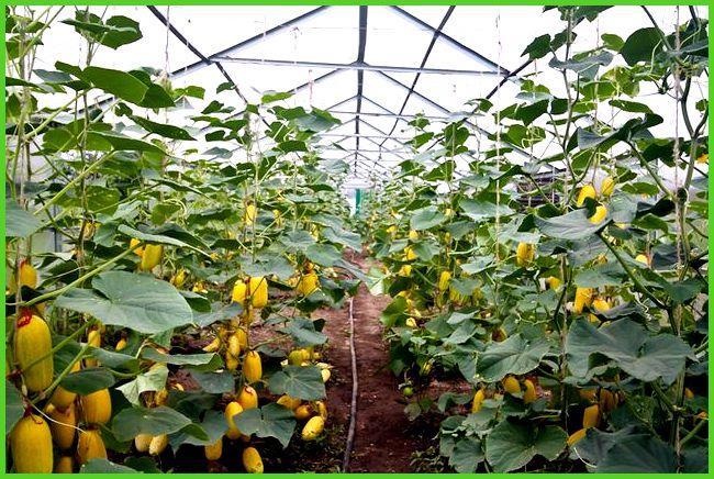 Теплица для выращивания огурцов круглый год 79