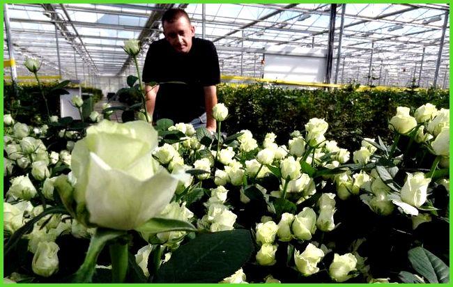 Выращивание роз в теплицах круглый год 95