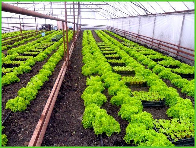 Бизнес-идея 1221 Выращивание роз в теплице