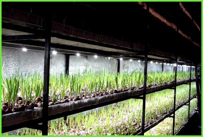 Как зарабатывать на выращивании лука 150