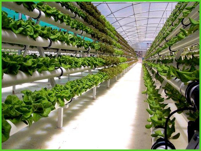 Выращивание в теплицах зелени 31