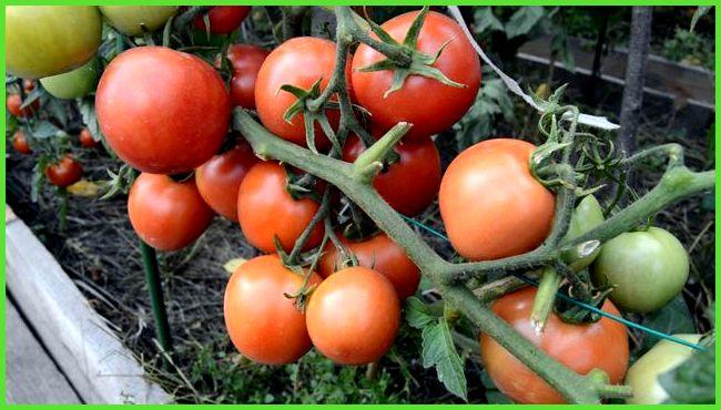 какие помидоры подходят для теплицы