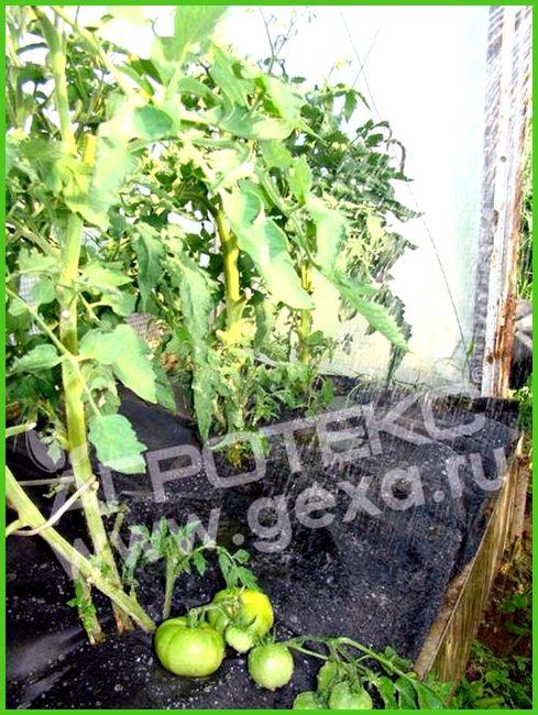сколько градусов выдерживает рассада помидор