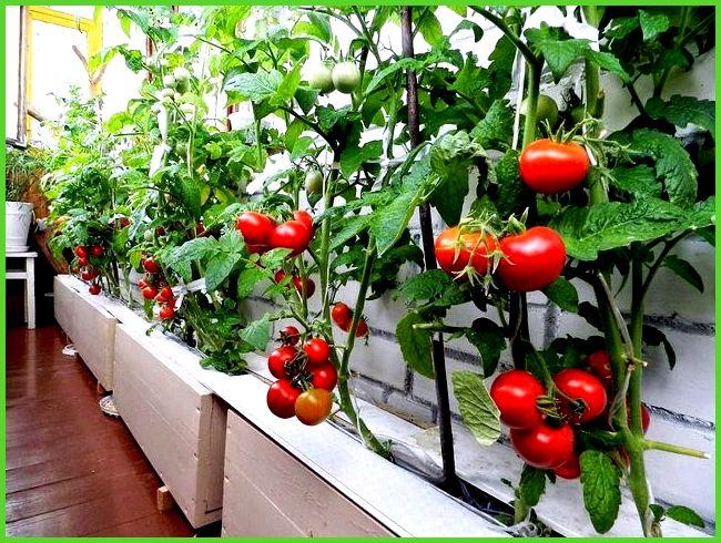 рассада помидор на балконе температура ночью