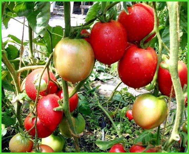 какой сорт помидоров самый