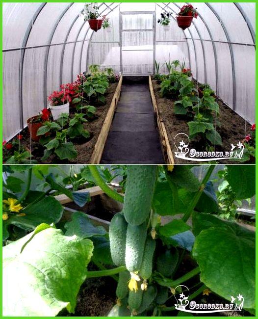 уход и выращивание огурцов в теплице