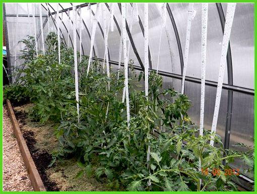 приспособления для подвязки томатов в теплице
