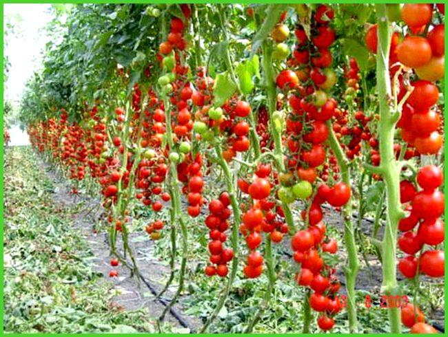 сорта помидор для посадки в теплице