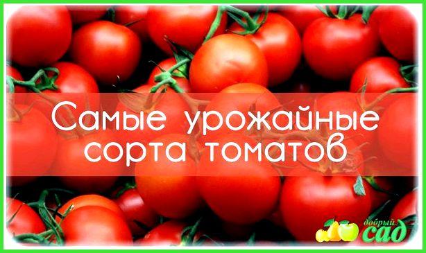 суперранние томаты для теплиц подмосковья