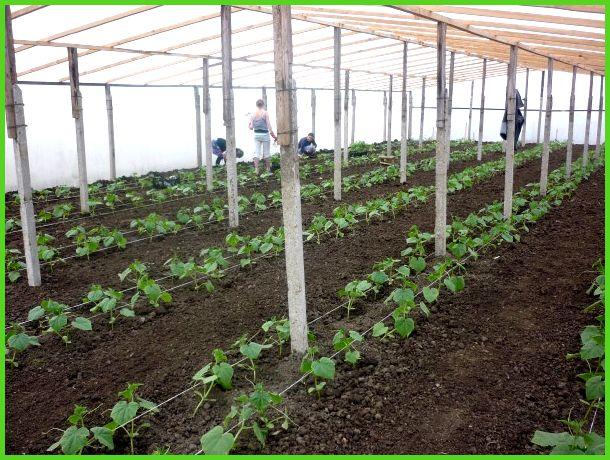 почва для огурцы в теплице
