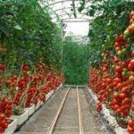 Преимущества выращивания помидор в поликарбонатной теплице